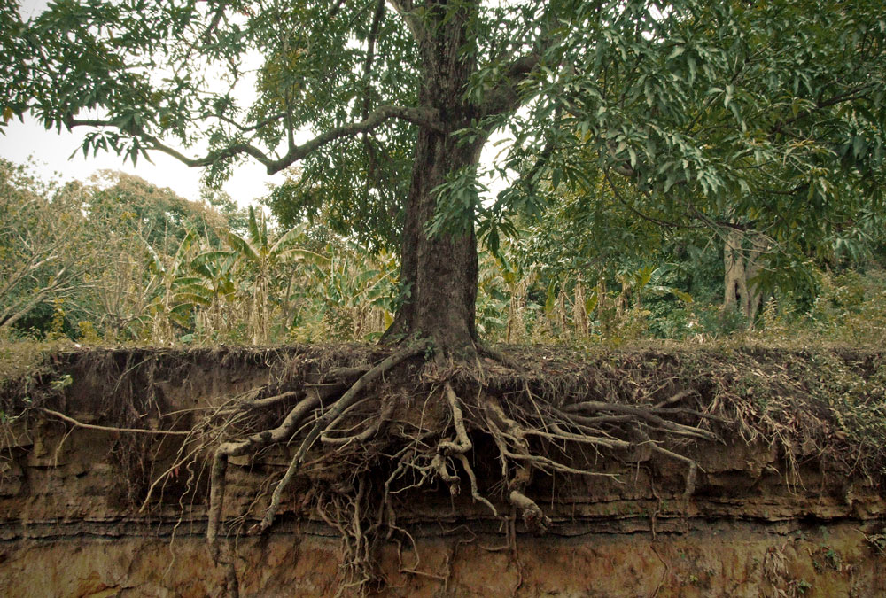 looking for the root Root problems can cause wilting and is proven to work well at supporting root health in cannabis take a look at our root rot page to see pictures of how.